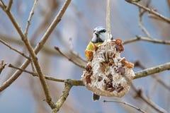 Σπιτικός τροφοδότης πουλιών, παχύ μπισκότο καρύδων με το καρύδι, σταφίδα hangin Στοκ εικόνες με δικαίωμα ελεύθερης χρήσης