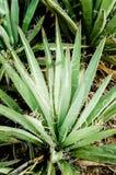 Σπονδυλικές στήλες Yucca που κοιτάζουν κάτω στοκ φωτογραφίες