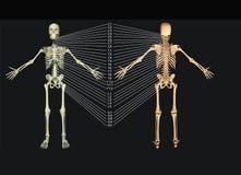 σπονδυλική στήλη διανυσματική απεικόνιση