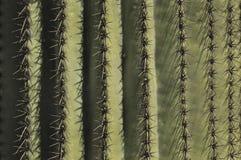 Σπονδυλικές στήλες Saguaro Στοκ Εικόνες
