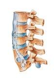 Σπονδυλική στήλη - Ankylosing Spondylitis Στοκ εικόνες με δικαίωμα ελεύθερης χρήσης