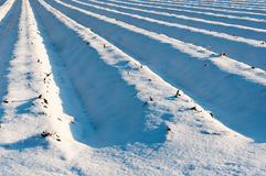 Σπορεία σπαραγγιού που καλύπτονται με το χιόνι Στοκ φωτογραφίες με δικαίωμα ελεύθερης χρήσης