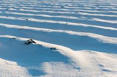 Σπορεία σπαραγγιού που καλύπτονται με το χιόνι Στοκ εικόνα με δικαίωμα ελεύθερης χρήσης