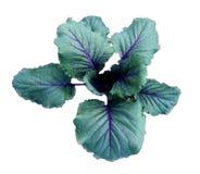 Σπορόφυτα άνοιξη του πρόωρου μπλε λάχανου που φυτεύεται στον κήπο ISO Στοκ Φωτογραφία