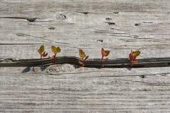 Σπορόφυτα δέντρων που μεγαλώνουν από το παλαιό ξύλο Στοκ Εικόνα