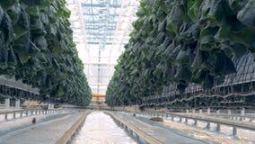 Σπορόφυτα αγγουριών που αυξάνονται σε μια πρασινάδα Σύγχρονη έννοια γεωργίας απόθεμα βίντεο