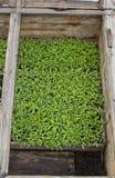 Σπορόφυτα ντοματών στα φυτώρια Στοκ εικόνα με δικαίωμα ελεύθερης χρήσης