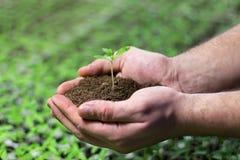 Σπορόφυτα ντοματών στα χέρια της γεωργίας Στοκ Εικόνες