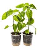 Σπορόφυτα πιπεριών κουδουνιών στοκ εικόνα με δικαίωμα ελεύθερης χρήσης