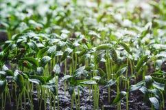 Σπορόφυτα πιπεριών με τα σταγονίδια νερού στα φύλλα στοκ εικόνες
