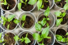 Σπορόφυτα πιπεριών που αυξάνονται τα δοχεία Στοκ εικόνες με δικαίωμα ελεύθερης χρήσης