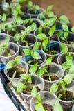 Σπορόφυτα πιπεριών που αυξάνονται τα δοχεία Στοκ Εικόνα