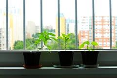 Σπορόφυτα πιπεριών στοκ φωτογραφία με δικαίωμα ελεύθερης χρήσης