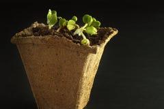 Σπορόφυτα ραδικιών άνοιξη για το μικρό κήπο σας Σκοτεινή ανασκόπηση Δοχείο τύρφης για τα σπορόφυτα με τη γη και τις εγκαταστάσεις Στοκ εικόνα με δικαίωμα ελεύθερης χρήσης