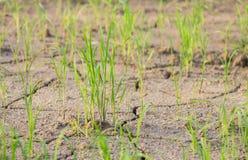 Σπορόφυτα ρυζιού και άγονα χώματα Στοκ Φωτογραφίες
