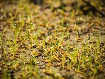 σπορόφυτα ρυζιού Στοκ φωτογραφία με δικαίωμα ελεύθερης χρήσης