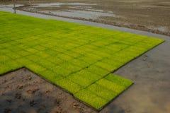 Σπορόφυτα ρυζιού Στοκ Φωτογραφίες
