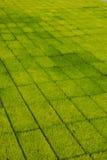 Σπορόφυτα ρυζιού Στοκ φωτογραφίες με δικαίωμα ελεύθερης χρήσης