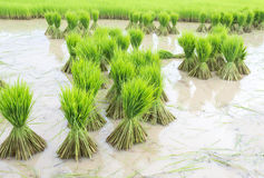 Σπορόφυτα ρυζιού. Στοκ Εικόνα