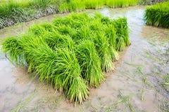 Σπορόφυτα ρυζιού Στοκ Εικόνες