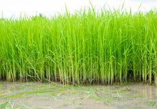 Σπορόφυτα ρυζιού Στοκ Φωτογραφία