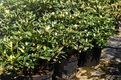 Σπορόφυτα στα εμπορευματοκιβώτια σε μια πώληση κήπων Κωνοφόρο δέντρο για τη φύτευση στο έδαφος στοκ εικόνες