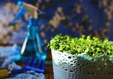 Σπορόφυτα στα μπλε δοχεία Στοκ φωτογραφία με δικαίωμα ελεύθερης χρήσης