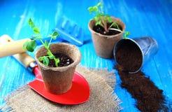 Σπορόφυτα στα δοχεία τύρφης με τα εργαλεία κήπων Στοκ Φωτογραφία