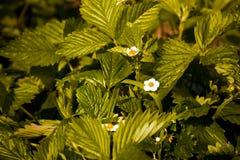 Σπορόφυτα της άγριας φράουλας Στοκ εικόνα με δικαίωμα ελεύθερης χρήσης