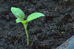 Σπορόφυτα της ανάπτυξης πιπεριών στο κλειστό έδαφος σε ένα θερμοκήπιο Στοκ Εικόνες