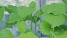 Σπορόφυτα της μελιτζάνας στο windowsill φιλμ μικρού μήκους