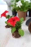 Σπορόφυτα της πετούνιας στα δοχεία τύρφης στοκ φωτογραφία με δικαίωμα ελεύθερης χρήσης