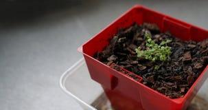 Σπορόφυτα του θυμαριού στο σβόλο του χώματος σε δοχείο Στοκ εικόνες με δικαίωμα ελεύθερης χρήσης