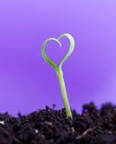 Σπορόφυτο άνοιξη στη μορφή της καρδιάς Στοκ Φωτογραφία