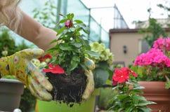 Σπορόφυτο λουλουδιών επαν-potting Στοκ φωτογραφία με δικαίωμα ελεύθερης χρήσης
