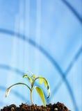 Σπορόφυτο ντοματών Στοκ εικόνες με δικαίωμα ελεύθερης χρήσης