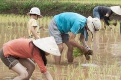Σπορόφυτο ρυζιού μεταμόσχευσης στο λιβάδι Στοκ Φωτογραφίες