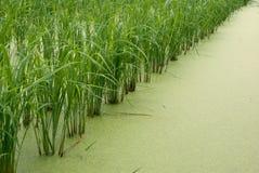 Σπορόφυτο ρυζιού Στοκ φωτογραφίες με δικαίωμα ελεύθερης χρήσης
