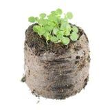 Σπορόφυτο της μέντας βάλσαμου ή των officinalis της Melissa με πράσινο cotyledon δύο και αληθινά φύλλα στο σβόλο του χώματος στοκ εικόνες