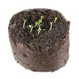 Σπορόφυτο του βάλσαμου ή των officinalis της Melissa στο σβόλο του χώματος που απομονώνεται στο άσπρο υπόβαθρο στοκ εικόνες