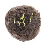 Σπορόφυτο του βάλσαμου ή των officinalis της Melissa στο σβόλο του χώματος στο άσπρο υπόβαθρο στοκ φωτογραφία με δικαίωμα ελεύθερης χρήσης