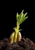 Σπορόφυτο φυστικιών Στοκ Εικόνα