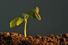 σπορόφυτο φυτών στοκ εικόνα με δικαίωμα ελεύθερης χρήσης