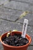 σπορόφυτο φυτών tomatoe Στοκ εικόνες με δικαίωμα ελεύθερης χρήσης
