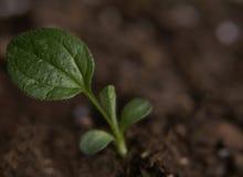 σπορόφυτο echinacea Στοκ φωτογραφία με δικαίωμα ελεύθερης χρήσης