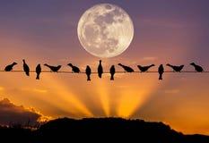 Σπουργίτια κοπαδιών σκιαγραφιών που σκαρφαλώνουν στο ηλεκτροφόρο καλώδιο στο ηλιοβασίλεμα με τη πανσέληνο στοκ εικόνα