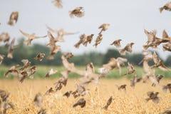 Σπουργίτια που πετούν πέρα από τα δημητριακά Στοκ Φωτογραφία