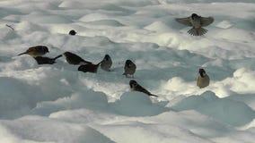 Σπουργίτια που ψάχνουν τα τρόφιμα το χειμώνα απόθεμα βίντεο