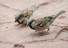 Σπουργίτια που ψάχνουν crumbs ψωμιού Στοκ φωτογραφίες με δικαίωμα ελεύθερης χρήσης