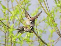Σπουργίτι άνοιξη δύο χαριτωμένο πουλιών ερωτευμένο στους κλάδους των δέντρων Στοκ Φωτογραφίες